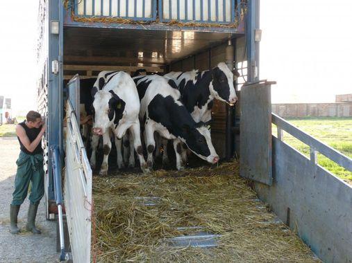 COMMUNIQUE IBR au 4 juin 2021 : Demeurez très vigilants lors de mouvement de bovin entre exploitations